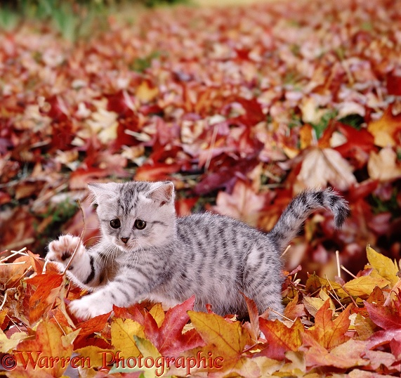 Silver tabby kitten playing among fallen leaves of liquid amber