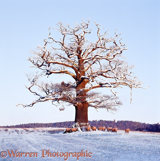 English Oak (Quercus robur) in winter snow with sheep huddled under it. Winter 2001.  Surrey, England