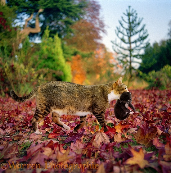 Mother cat carrying a kitten through autumn leaves