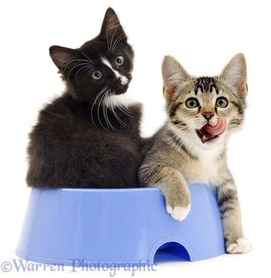 Agouti and black-and-white kittens, 12 weeks old, playing in a blue dog-food bowl, white background