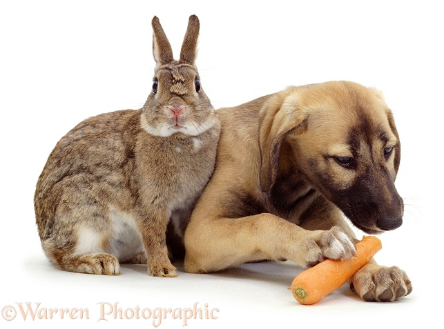 Saluki Lurcher pup, Tansy eating a carrot, stolen from agouti dwarf rabbit, white background