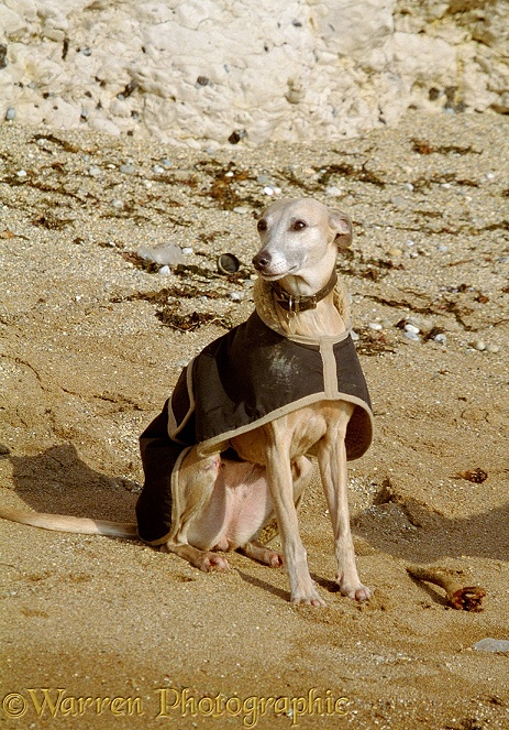 Whippet, Whisper, with a jacket on