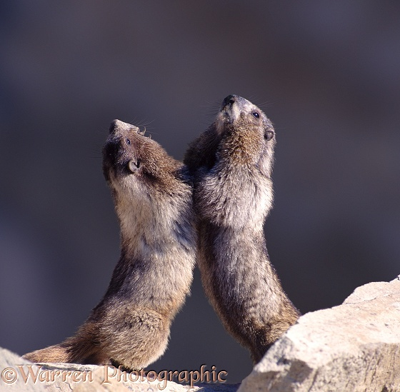 A pair of Hoary Marmots (Marmota caligata) wrestling.  North America