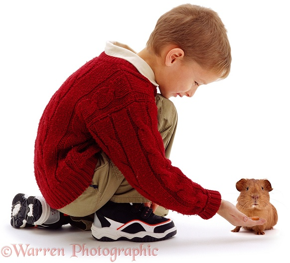 Daniel offering a bit of carrot to a young red smooth-haired Guinea pig, white background