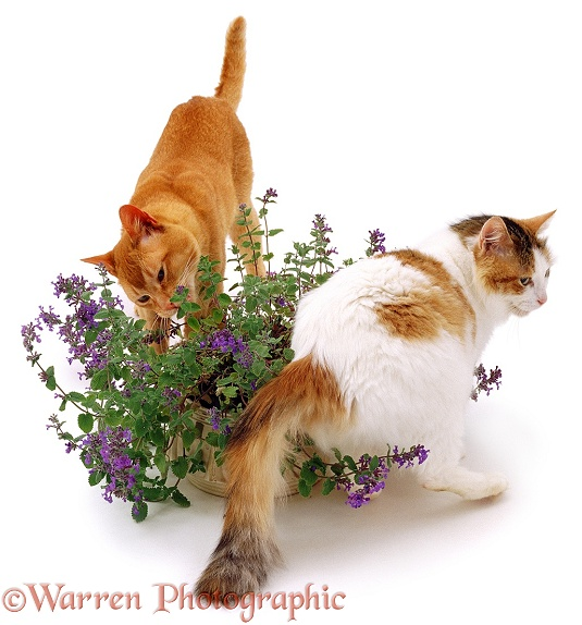 A couple of cats investigating a catmint plant, white background