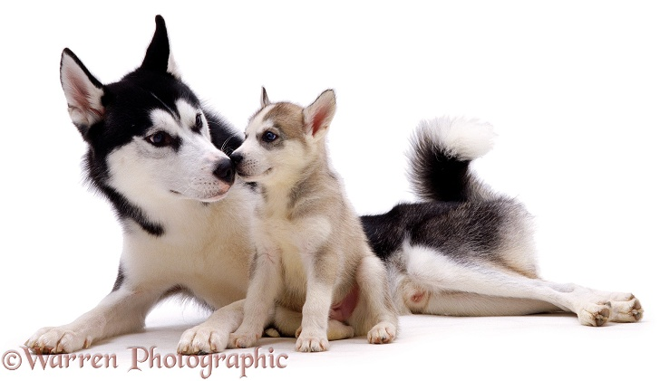 Siberian Husky dog, Ash, with one of his pups, 7 weeks old, white background