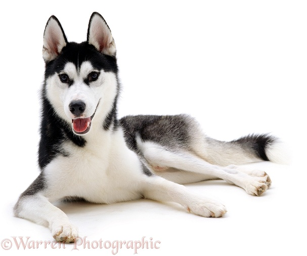 Siberian Husky dog, Ash, white background