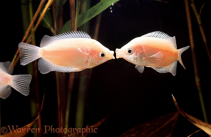 Kissing Gouramis (Helostoma temmincki).  Malay peninsula, Thailand, Indonesia