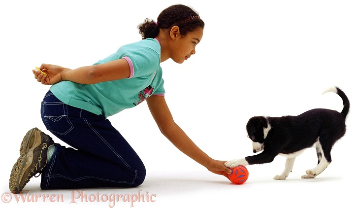 Girl, 11 years old, clicker-training black-and-white Border Collie puppy, Fly, 10 weeks old, white background