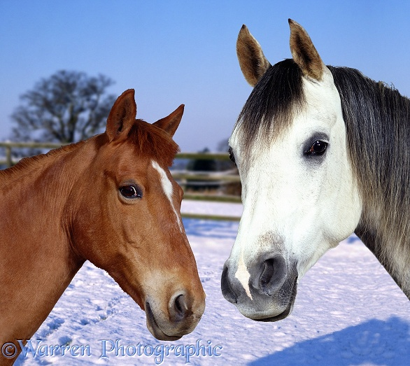 Grey Arab Stallion, Walter, and Chestnut Pony, Dolly