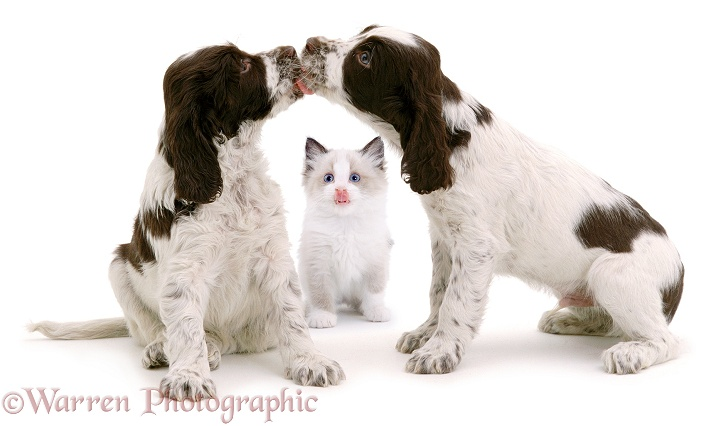 English Springer Spaniel puppies, 7 weeks old, with Seal-point Ragdoll kitten, 8 weeks old, white background