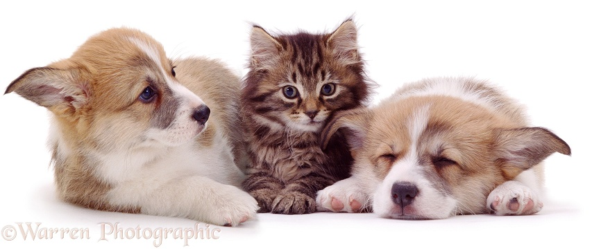 Fluffy tabby kitten with Pembrokeshire Welsh Corgi puppies, white background