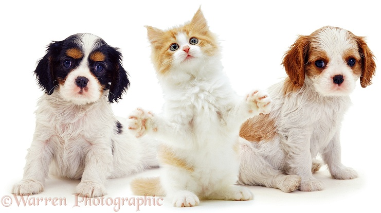 Cavalier King Charles Spaniel puppies, 8 weeks old, with ginger-and-white kitten, white background