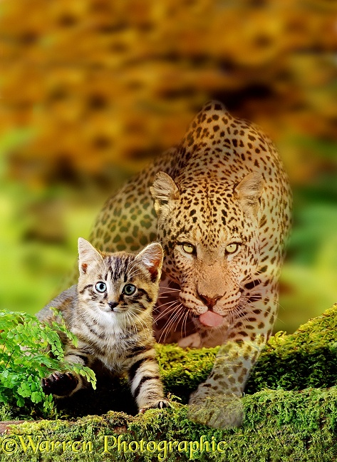 Kitten and Leopard stalking