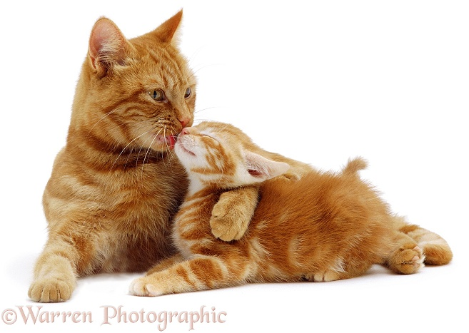 Red tabby Mother cat, Glenda, holding her red kitten while she licks his face, white background