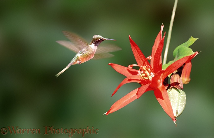 Hummingbird & red passion flower.  Costa Rica