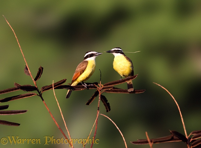 Pair of Great Kiskadees