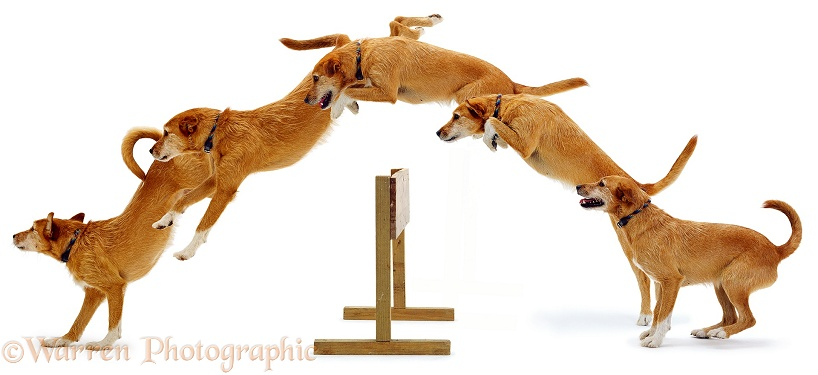 Multiple of Lakeland Terrier x Border Collie, Tilly, jumping, white background