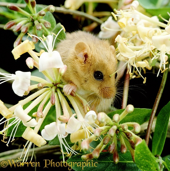 Common Dormouse (Muscardinus avellanarius) among Honeysuckle.  Europe