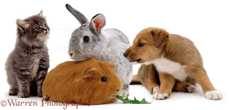 Lakeland Terrier x Border Collie, Henry, with a rabbit, Guinea pig and kitten, white background