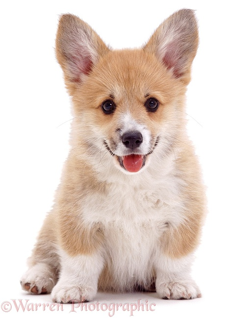 Pembrokeshire Welsh Corgi pup, Rosie. 8 weeks old, white background