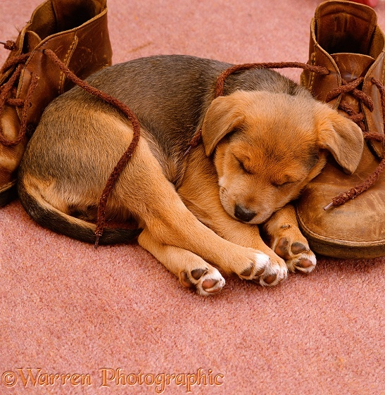 Lakeland Terrier x Border Collie, Holly, asleep on a pair of brown shoes