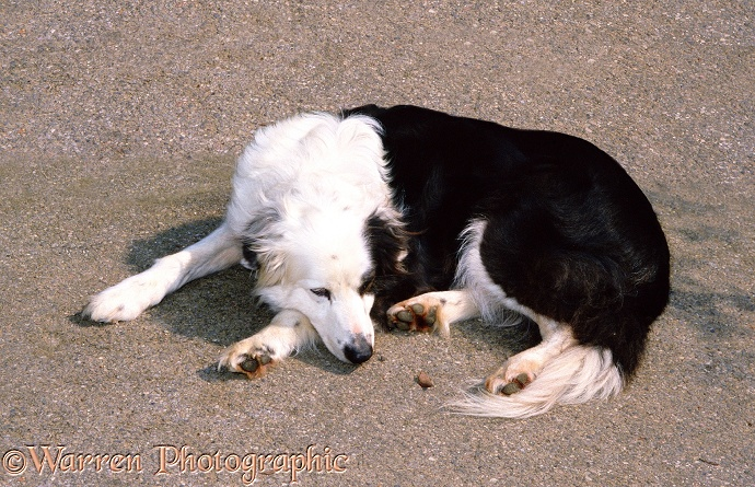 WP01163 Border Collie, Patch , 12 years old, dozing in the sun.