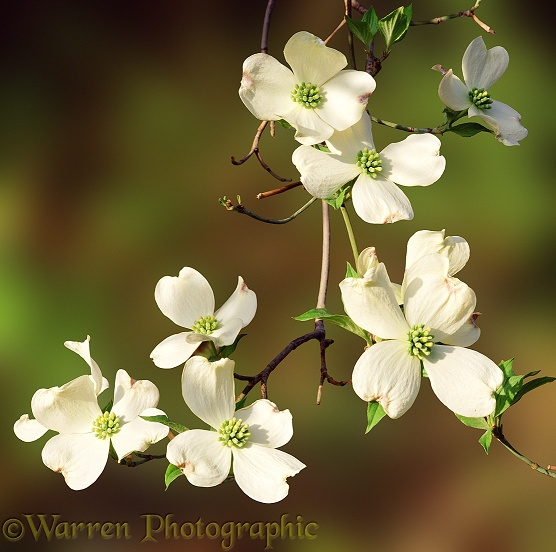 Flowering Dogwood (Cornus florida).  North America