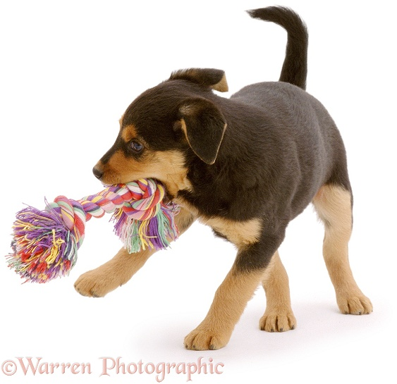 Black-tan Lakeland Terrier x Border Collie, Lottie, 8 weeks old, shaking a ragger toy, white background