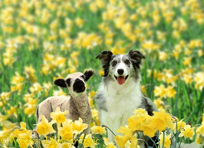 Blue Merle Collie, Misty, with a lamb among daffodils