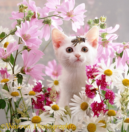 A white kitten watching a passing honey bee
