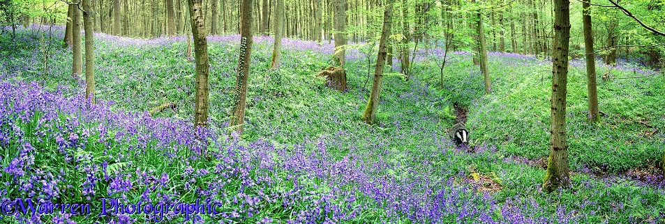 Bluebell woods panorama.  Surrey, England