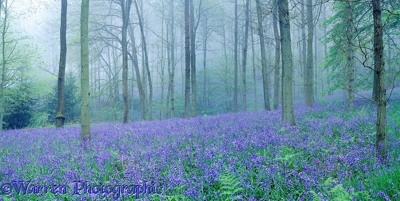 Misty woodland with Bluebells (Hyacinthoides non-scripta).  Surrey, England