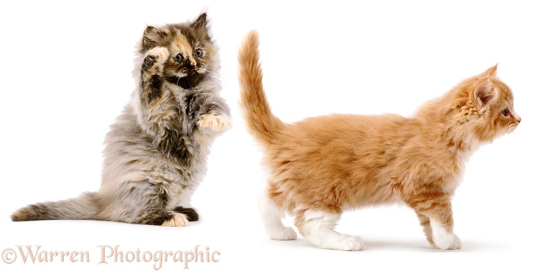 Funny kitten batting another's tail, white background