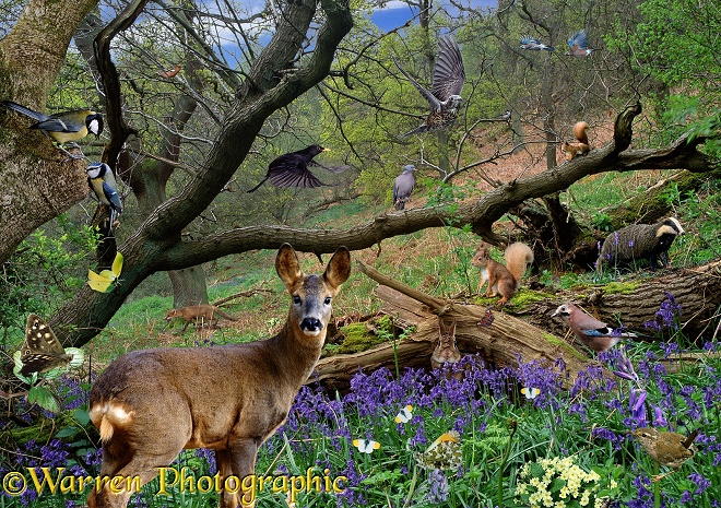 Surrey Woodland spring scene with wild animals - Roe Deer (Capreolus capreolus), Red Squirrel (Sciurus vulgaris), Badger (Meles meles), Eurasian Jay (Garrulus glandarius)