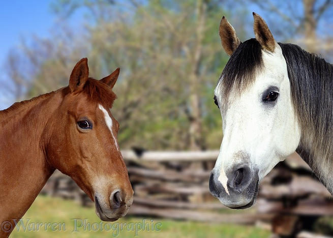 Grey Arab Stallion, Walter, and Chestnut Pony, Dolly, in Spring-time rural scene