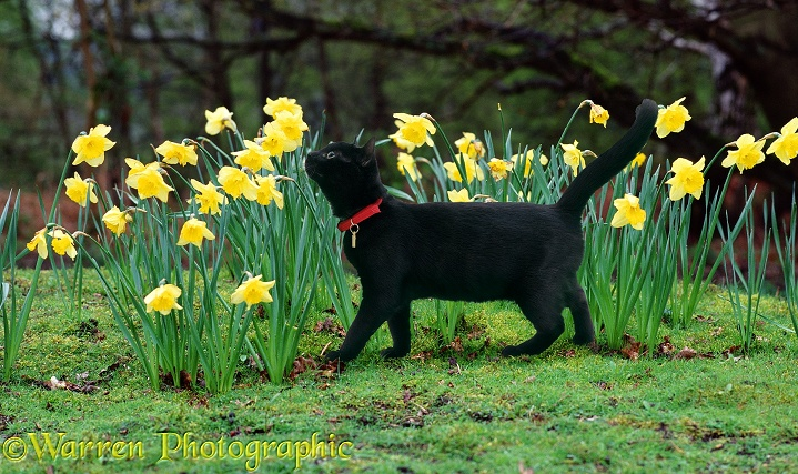 Young female black catten Kitty, 16 weeks old, in red collar with identity tag, investigating some daffodils