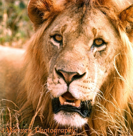 African Lion (Panthera leo) scarred male