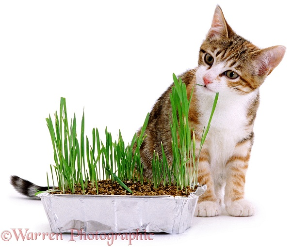 Young Torbie-and-white cat eating indoor grass, white background