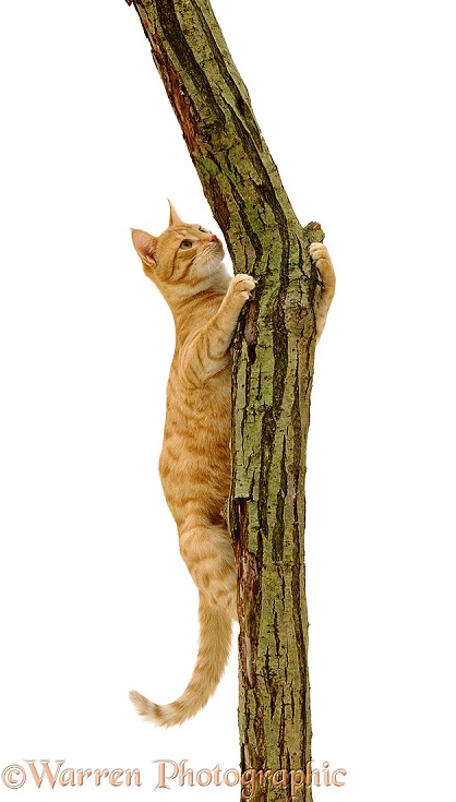 Young ginger cat Sparky climbing showing claws holding on to rough bark, white background