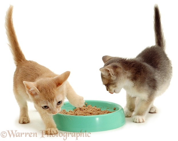 Cream Burmese-cross kitten in food covering action after he has finished feeding, white background