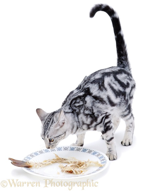 Cat with dinner plate, white background