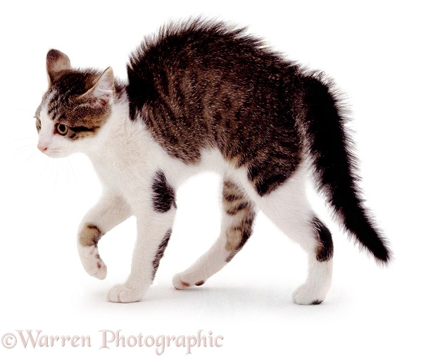 Kitten in playful witch's cat posture, white background