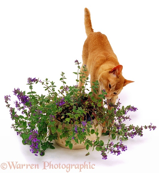 A cat investigating a catmint plant, white background