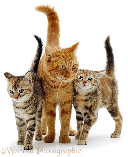 Ginger cat with kittens, white background