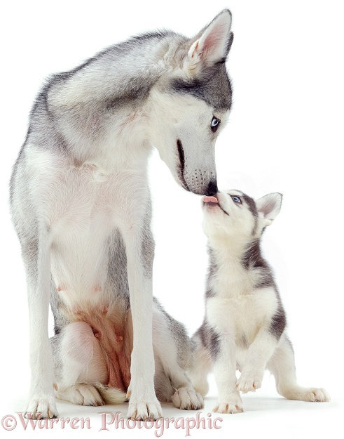 Husky pup licking mother's muzzle, white background