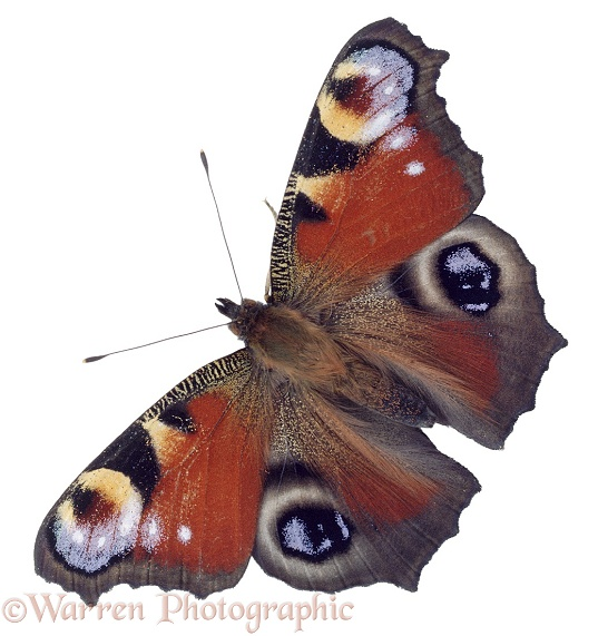 Peacock Butterfly (Inachis io), white background