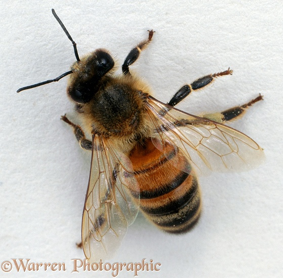 Honey Bee (Apis mellifera) worker, white background