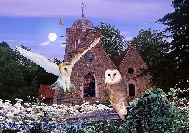 Barn Owls (Tyto alba) at Albury Church jigsaw
