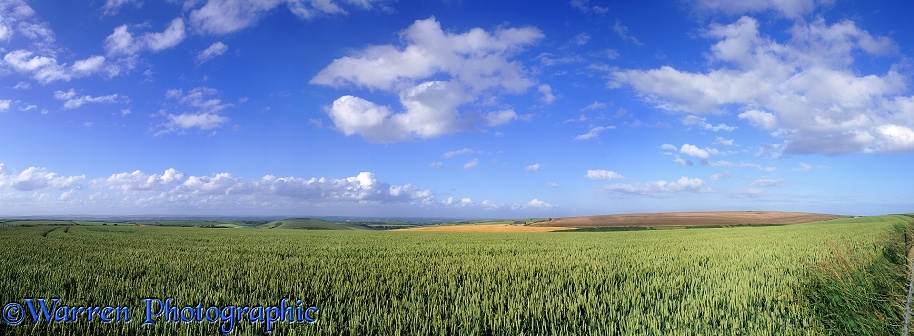Wheat field panorama.  Dorset, England